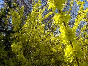 Spring Forsythia